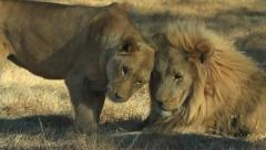 Great natural behavior Lioness greeting Male Lion GFHD Stock Footage