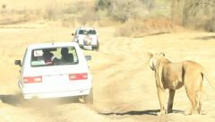 Lioness Scratching Car in Africa GFHD Stock Footage