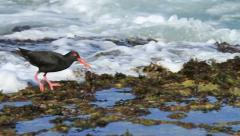 Great behavior of Oystercatcher Bird eating and running in Slow Motion GFHD Stock Footage