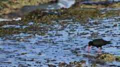 Black Oystercatcher in Tidal Pool Waves 03 Slomo GFHD Stock Footage