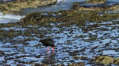 African Black Oystercatcher in Slomo GFHD Stock Footage