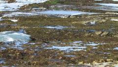 Oystercatcher in Tidal Pools EWS 01 Slomo GFHD Stock Footage