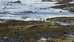 Oystercatchers in Tidal Pools EWS 01 Slomo GFHD Stock Footage