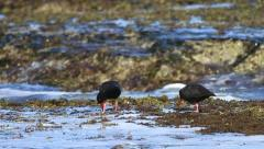 Oystercatchers in Tidal Pools MS 01 Slomo GFHD Stock Footage