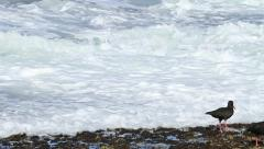 Oystercatchers in waves at Tidal Pools WS GFHD Stock Footage