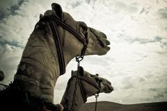 two camels - stock photo