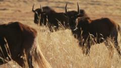 Wildebeest Herd in Yellow Grass GFHD Stock Footage