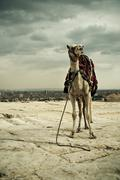 standing on camel in Giza - stock photo
