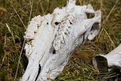 skull and bones of a horse - stock photo