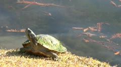 Small Turtle Stock Footage
