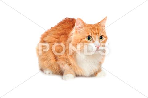 Stock photo of Lovely fluffy red cat. Isolated