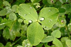 Clover with drops of dew on the leaves. Stock Photos