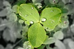 clover with discolored and blurred background as environmental concept. - stock photo