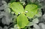 Clover with discolored and blurred background as environmental concept. Stock Photos