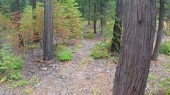 california dogwoods in autumn foliage - stock footage