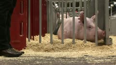 Pig in pen at show Stock Footage