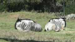 Wildebeest I Stock Footage