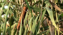 Bulrush in reeds zoom out Stock Footage