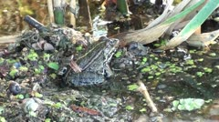 Frog camouflaged zoom out Stock Footage