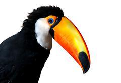 Colorful caribbean toucan with large orange beak Stock Illustration