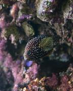 Stock Photo of dotted butterfly fish
