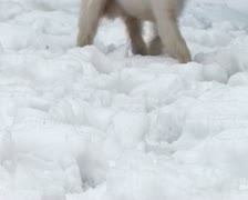 West Highland Terrier Stock Footage