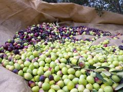 Many just picked olives Stock Photos