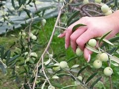 Woman picking olives - stock photo