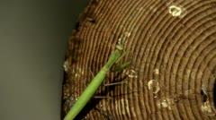 Hunting Praying mantis at night Stock Footage