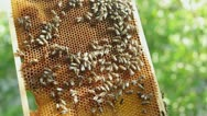 Stock Video Footage of Honeycomb with bees and honey HD