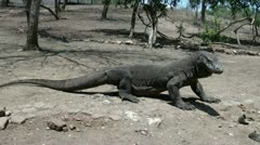 Dangerous Komodo dragons (2/4) Stock Footage
