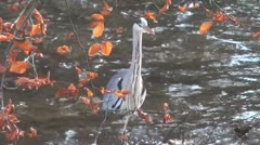 Crane stands in a river and stares Stock Footage