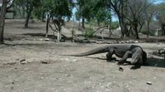 Dangerous Komodo dragons (4/4) Stock Footage