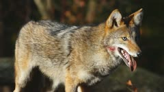 Coyote Male Hunting Stock Footage
