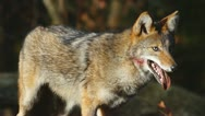 Stock Video Footage of Coyote Male Hunting