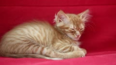 Sleepyhead Cute Yellow Cat Stock Footage