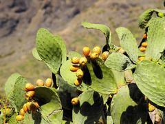 opuntia ficus-indica, tenerife, canary islands, spain - stock photo
