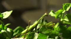 Hunting Praying mantis at night Stock Footage