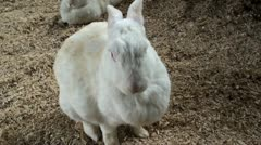 White Bunny Rabbit Cleaning Stock Footage