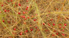 Water drops on wild red berries 9 Stock Footage
