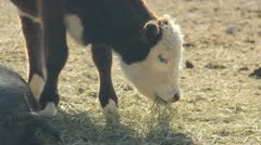 Cow with horns 3 Stock Footage