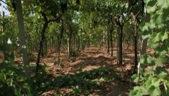 Row of grape vines Stock Footage