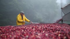 Stock Video Footage of Elderly farmer Cranberry Harvest in New England Autumn