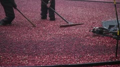Cranberry Harvest in New England Autumn - 2 man crew with machinery Stock Footage