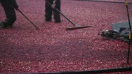 Stock Video Footage of Cranberry Harvest in New England Autumn - 2 man crew with machinery