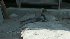 Walking Komodo dragon near farm entrance Stock Footage