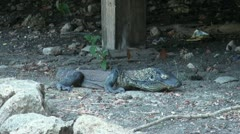 Relaxing Komodo dragon Stock Footage