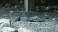 Stock Video Footage of Relaxing Komodo dragon