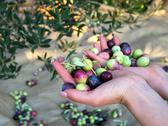Olives in woman hand Stock Photos