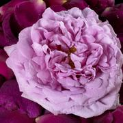 Pink rose and violet petals Stock Photos